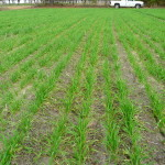 2015 Spring Nitrogen Fertilizer Recommendations for Wheat