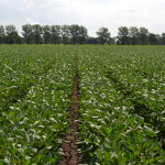 Soybean Production: Cost-effective pest management practices